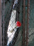 A single rose placed on the chain link fence surrounding the Twin Tower cavity.
